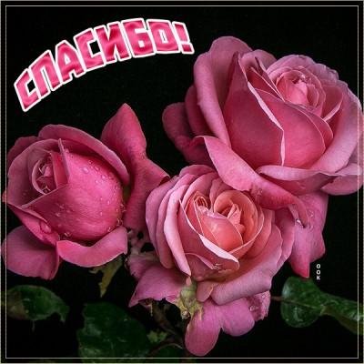 Картинка картинка спасибо с розами