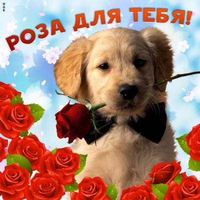 Картинка роза для тебя
